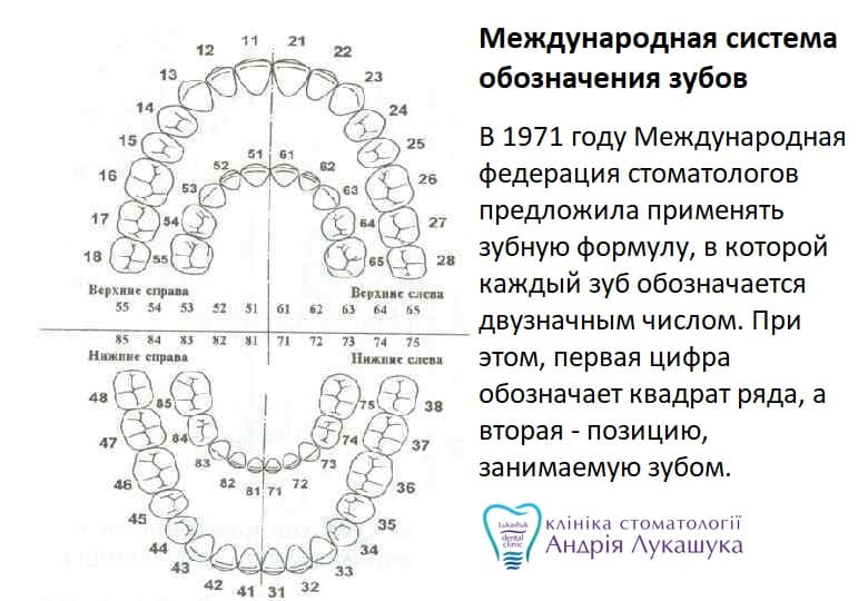 Двухцифровая системанумерации зубов | Фото - Клиника Лукашука